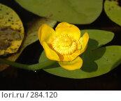 Купить «Кубышка желтая», фото № 284120, снято 2 июля 2007 г. (c) Елена Александрова / Фотобанк Лори