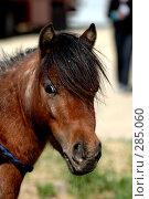 Купить «Пони аппалуза», фото № 285060, снято 3 мая 2008 г. (c) Абрамова Ирина / Фотобанк Лори