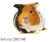 Купить «Морская свинка», фото № 285148, снято 1 декабря 2006 г. (c) Андрей Армягов / Фотобанк Лори