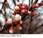 Купить «Расцветающий абрикос после дождя», фото № 285912, снято 2 апреля 2008 г. (c) Олег Хархан / Фотобанк Лори