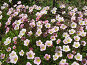 Камнеломка Арендса - Saxifraga x arendsii, фото № 286980, снято 12 июня 2007 г. (c) Беляева Наталья / Фотобанк Лори