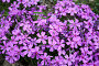Садовые цветы, эксклюзивное фото № 288412, снято 22 апреля 2008 г. (c) Дмитрий Неумоин / Фотобанк Лори