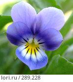 Купить «Цветок фиалки», фото № 289228, снято 13 мая 2008 г. (c) Ivan Markeev / Фотобанк Лори