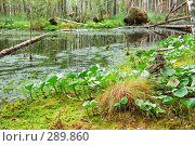 Купить «Болотная растительность», фото № 289860, снято 30 июня 2007 г. (c) Сергей Сынтин / Фотобанк Лори