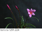 Купить «Розовый цветок», фото № 291224, снято 15 июня 2007 г. (c) Морозова Татьяна / Фотобанк Лори