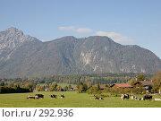 Купить «Бавария. Стадо альпийских коров на выпасе.», фото № 292936, снято 17 октября 2005 г. (c) Павел Гаврилов / Фотобанк Лори