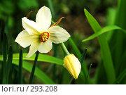 Купить «Нарцисс», фото № 293208, снято 2 мая 2008 г. (c) Анатолий Теребенин / Фотобанк Лори