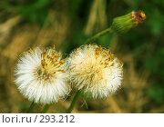 Купить «Жизнь одуванчика», фото № 293212, снято 3 мая 2008 г. (c) Анатолий Теребенин / Фотобанк Лори