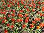 Поле красных тюльпанов, фото № 294764, снято 10 апреля 2008 г. (c) ИВА Афонская / Фотобанк Лори