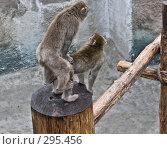 Купить «Японская макака», фото № 295456, снято 20 мая 2008 г. (c) Суханова Елена (Елена Счастливая) / Фотобанк Лори
