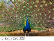 Купить «Обыкновенный павлин», фото № 296328, снято 13 мая 2008 г. (c) Михаил Котов / Фотобанк Лори