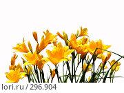 Купить «Дружное цветение лилейника видового. Изолировано», фото № 296904, снято 11 июля 2020 г. (c) Ольга Дроздова / Фотобанк Лори
