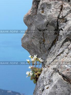Купить «Цветок на горной вершине Ай-Петри, Крым, Украина», фото № 300468, снято 11 июня 2006 г. (c) Татьяна Баранова / Фотобанк Лори