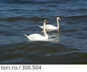 Лебеди на Балтике. Стоковое фото, фотограф Александр Новиков / Фотобанк Лори