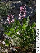 Купить «Цветущее растение Неопалимая Купина», фото № 300952, снято 21 мая 2008 г. (c) Олег Титов / Фотобанк Лори