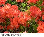 Купить «Цветущий куст рододендрона», фото № 300968, снято 5 июня 2005 г. (c) Евгения Лаврова / Фотобанк Лори
