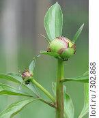 Купить «Муравьи на бутоне пиона», фото № 302868, снято 27 мая 2007 г. (c) Иван / Фотобанк Лори