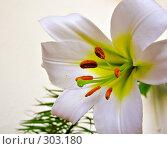 Купить «Лилия. Lilium. Белый цветок на белом фоне. Крупно.», фото № 303180, снято 11 июня 2007 г. (c) Светлана Силецкая / Фотобанк Лори