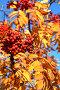 Спелая рябина, фото № 303516, снято 10 декабря 2016 г. (c) Николай Винокуров / Фотобанк Лори