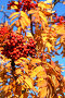 Спелая рябина, фото № 303516, снято 9 августа 2017 г. (c) Николай Винокуров / Фотобанк Лори
