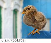 Купить «Цветной пушистый цыпленок», фото № 304868, снято 22 мая 2008 г. (c) Лада Иванова / Фотобанк Лори