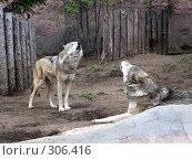 Купить «Волки», фото № 306416, снято 16 апреля 2008 г. (c) Бяков Вячеслав / Фотобанк Лори