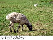 Купить «Баран пасется на пастбище», эксклюзивное фото № 306676, снято 15 августа 2018 г. (c) Николай Винокуров / Фотобанк Лори