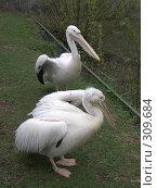 Купить «Два пеликана», фото № 309684, снято 16 апреля 2008 г. (c) Бяков Вячеслав / Фотобанк Лори