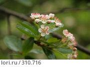 Купить «Цветы черноплодной рябины», фото № 310716, снято 25 мая 2008 г. (c) Мария Малиновская / Фотобанк Лори