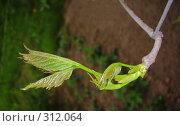 Купить «Юная лоза винограда с нежными листьями», фото № 312064, снято 18 мая 2008 г. (c) Чертопруд Сергей / Фотобанк Лори