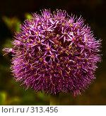 Купить «Декоративный лук», фото № 313456, снято 28 мая 2008 г. (c) Анатолий Теребенин / Фотобанк Лори
