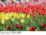 Купить «Тюльпаны», фото № 314344, снято 9 мая 2008 г. (c) Алексей Бок / Фотобанк Лори