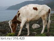 Купить «Маленькая телочка около берега Байкала», фото № 316420, снято 31 мая 2008 г. (c) Дарья Киселева / Фотобанк Лори