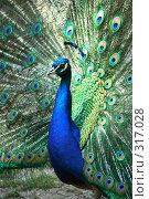 Купить «Павлин», фото № 317028, снято 8 июня 2008 г. (c) Сергей Литвиненко / Фотобанк Лори