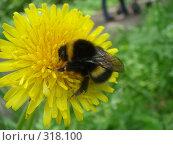 Купить «Шмель на цветке», фото № 318100, снято 8 июня 2008 г. (c) Евгения Лаврова / Фотобанк Лори