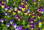 Анютины глазки, фото № 318304, снято 29 апреля 2017 г. (c) Парушин Евгений / Фотобанк Лори
