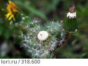 Купить «Одуванчик», фото № 318600, снято 27 мая 2008 г. (c) Виктория Щепкина / Фотобанк Лори