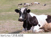 Купить «Корова», фото № 318608, снято 14 мая 2008 г. (c) Константин Куприянов / Фотобанк Лори