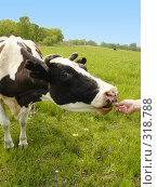 Купить «Корова, тянущаяся за лакомством», фото № 318788, снято 24 мая 2008 г. (c) Севостьянова Татьяна / Фотобанк Лори