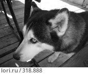 Купить «Попрошайка породы хаски под столом», фото № 318888, снято 1 февраля 2006 г. (c) Fro / Фотобанк Лори