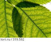 Купить «Зеленые листья, фон», фото № 319592, снято 18 мая 2006 г. (c) A Челмодеев / Фотобанк Лори