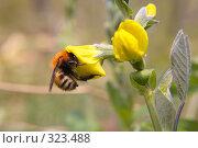 Купить «Пчела», фото № 323488, снято 24 мая 2008 г. (c) Константин Куприянов / Фотобанк Лори