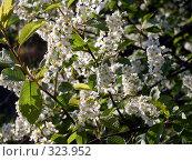 Купить «Ветви цветущей черёмухи», фото № 323952, снято 18 ноября 2019 г. (c) VPutnik / Фотобанк Лори