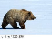 Купить «Молодой бурый медведь», фото № 325256, снято 6 июня 2008 г. (c) Максим Деминов / Фотобанк Лори