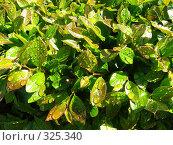 Купить «Капли на листьях», фото № 325340, снято 30 апреля 2008 г. (c) ИВА Афонская / Фотобанк Лори