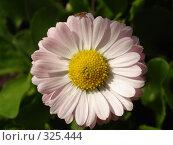 Купить «Садовый цветок», фото № 325444, снято 14 июня 2008 г. (c) Ivan Markeev / Фотобанк Лори