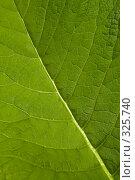 Купить «Фактура зеленого листа», фото № 325740, снято 14 июня 2008 г. (c) Николай Коржов / Фотобанк Лори