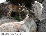 Купить «Горный козел», фото № 327216, снято 12 июня 2008 г. (c) Виктория Щепкина / Фотобанк Лори