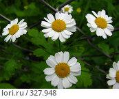 Купить «Полевые ромашки», фото № 327948, снято 16 июня 2008 г. (c) Михаил Ковалев / Фотобанк Лори