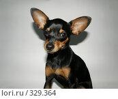 Портрет собаки породы той-терьер. Стоковое фото, фотограф Фиронов Максим / Фотобанк Лори